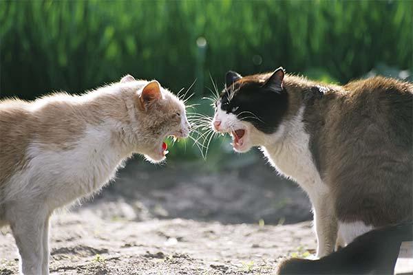 Сонник коты/кошки дерутся
