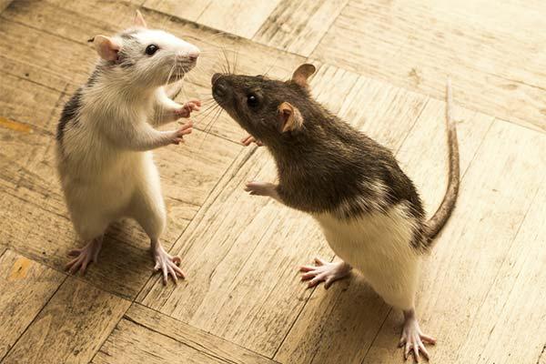 Сонник крысы дерутся