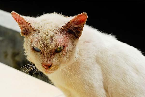 Сонник лишайная кошка