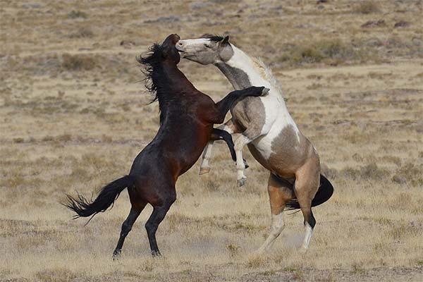 Сонник лошади дерутся