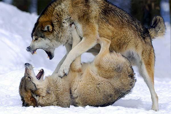 Сонник волки дерутся