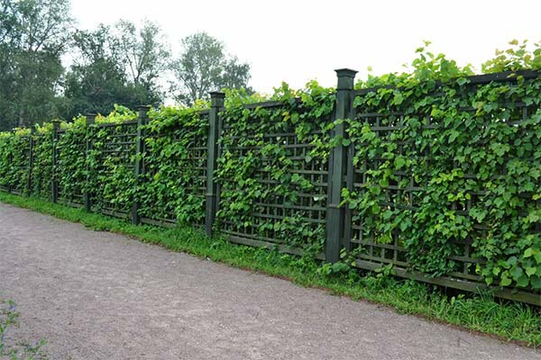 Сонник зеленый забор