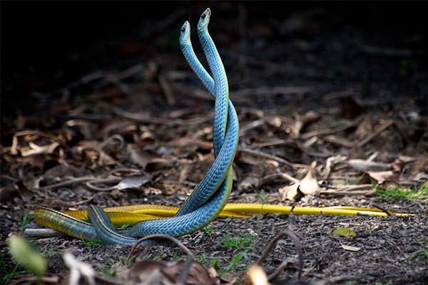 Сонник змеи дерутся