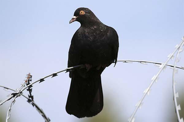 Черный голубь