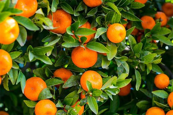 Сонник мандарины на дереве
