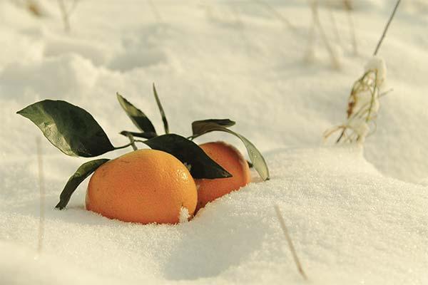 Сонник мандарины на снегу