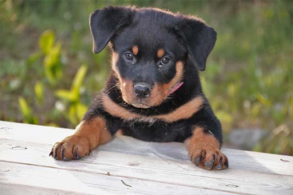 Сонник щенок ротвейлера