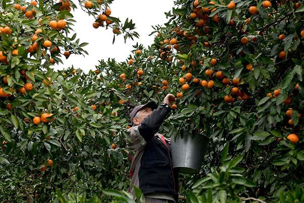 Сонник собирать мандарины