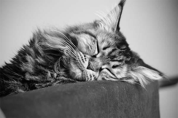 Мейн-кун спит
