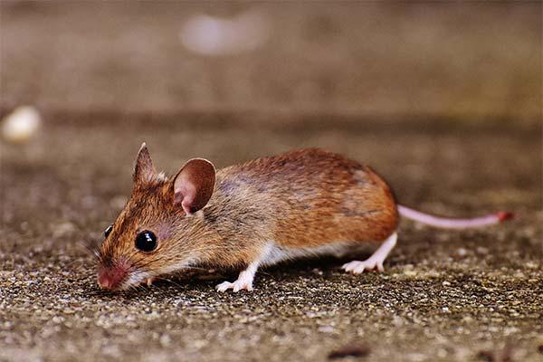 Сонник маленькие мыши